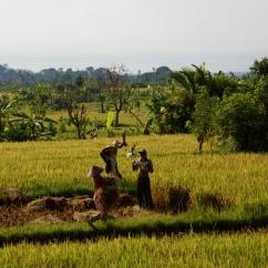 Travail dans les rizières, Bali