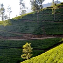 Plantations de thé, Dalhouse